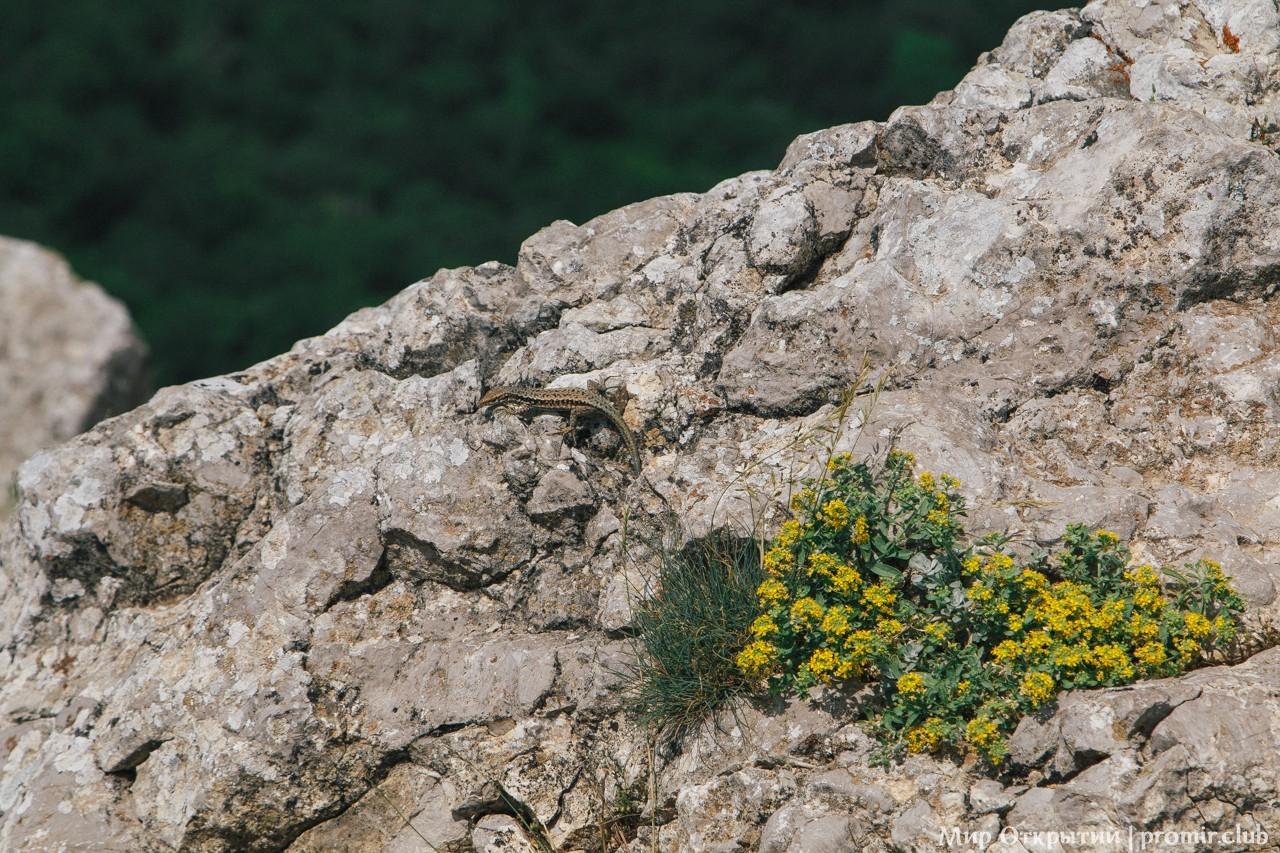 Ящерица, гора Ильяс-Кая
