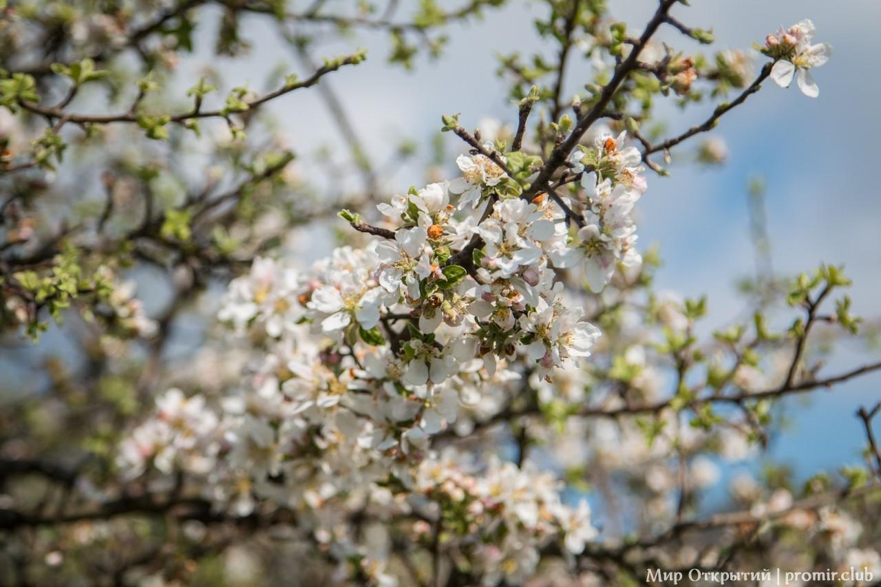 Цветущая яблоня, Байдарская долина, Крым