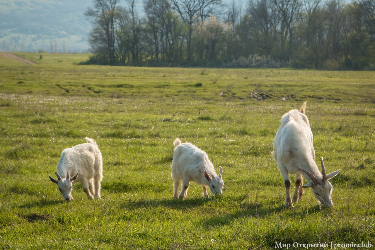 Пасущиеся козы, Байдарская долина, Крым
