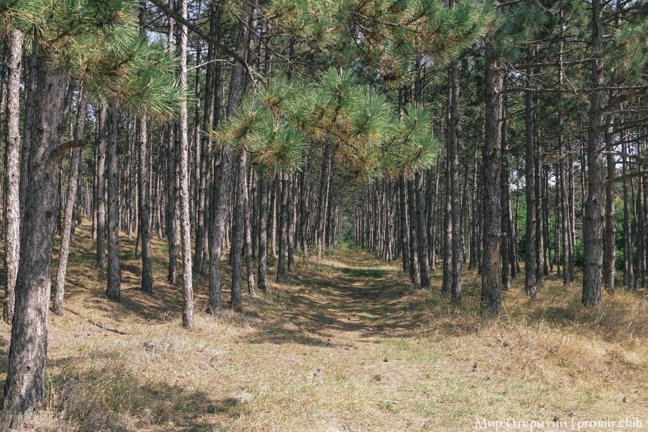 Сосновый лес у водохранилища, Симферополь