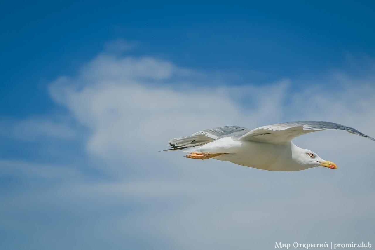 Чайка у моря, Севастополь